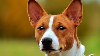 Басенджи - не лающая порода собак