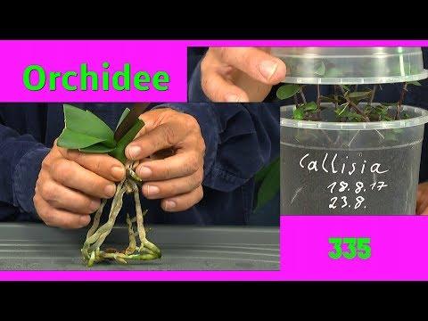 Orchidee Durch Stecklinge Vermehren Die Bambus Orchidee Und Ficus