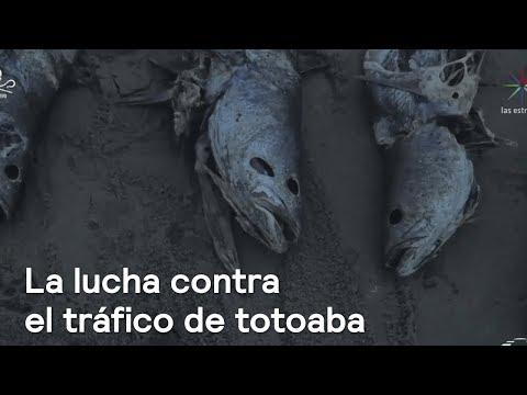 La lucha contra el tráfico de totoaba en el Alto Golfo de California - Despierta con Loret