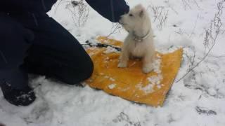 Дрессировка собак-Цвергшнауцер 3,5 мес Альфа