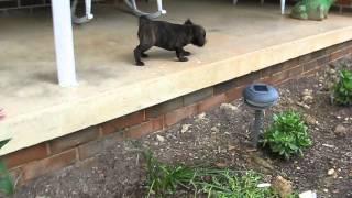 Roo - Female Boston Terrier Beagle Mix Puppy