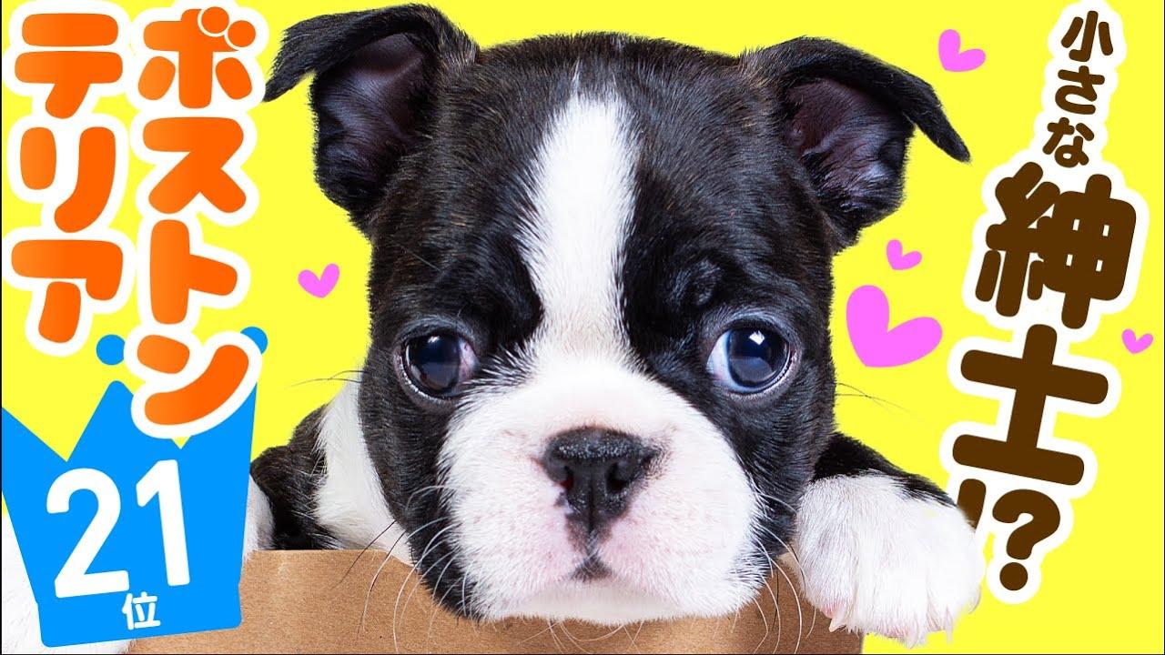 ❤️人気21位【ボストン・テリアってどんな犬?】子犬の価格や性格、寿命、飼いやすさは? カワイイ動画でチェック!