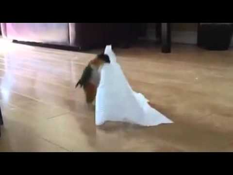 Little Bird Plays With Napkin (Original Audio)