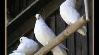 EAV-3 weisse Tauben