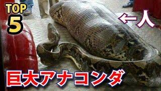 衝撃的すぎる大蛇!巨大アナコンダTOP5ランキング! アナコンダ 検索動画 1