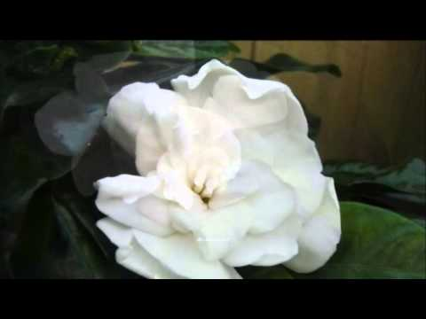 Marty Robbins - The Girl With Gardenias in Her Hair (HQ)