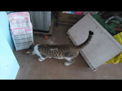 Mikki male cute cat walking around the house meowing, purring and rubbing himself to every object(1)