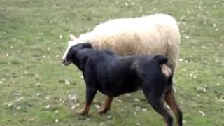 動物の微笑ましい映像。 牧羊犬とはなんだったのか。 全く動じることの...