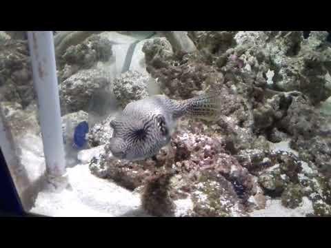 Maryport Aquarium Rare Map Puffer Fish Called Fat Sam