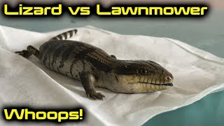 Blue Tongue Lizard Shenanigans with a Lawnmower...!