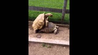Turtles Having Sex At The Zoo