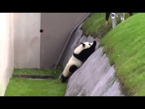 Японская панда в зоопарке
