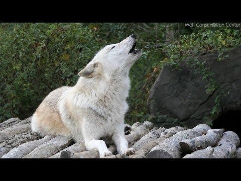 Twenty Five Wolves Howling