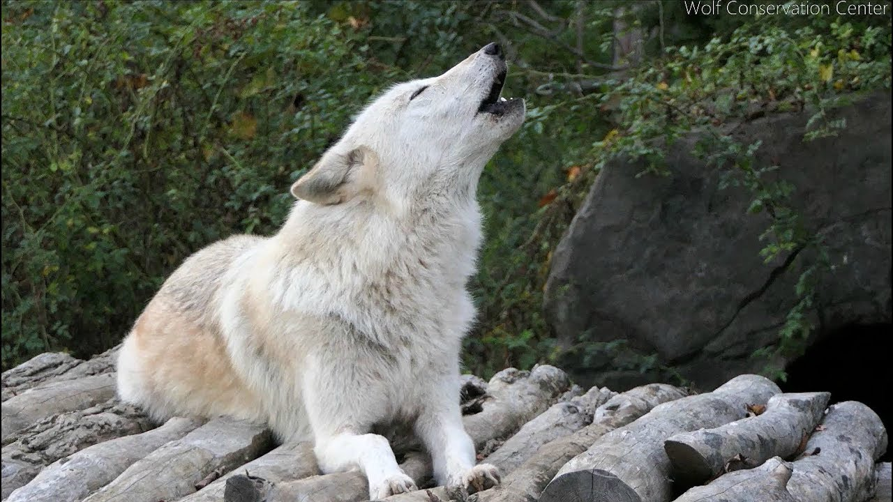 Twenty Five Wolves Howling - YouTube