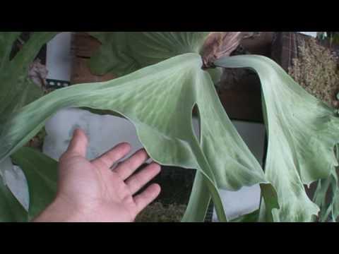 Platycerium grande壯麗鹿角蕨