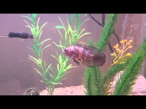 Oscar Fish In Community Tank With Mollies And Swordtails