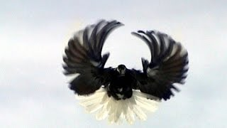 Pigeons Serpasto (Clip 9) / Голуби Серпастые (Клип 9)