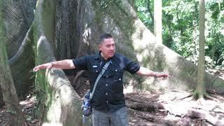 Warum die Urwaldriesen in alten Kulturen vergöttert wurden