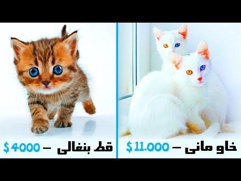 أغلى 10 قطط فى العالم  ' تكلف ثروة لشرائها ' .. !!