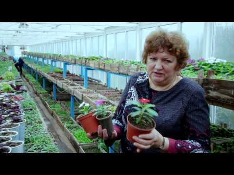 Выращивание рассады катарантусов