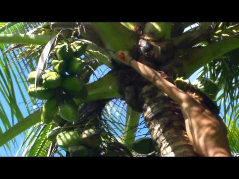 Bare foot coconut climber Kamil