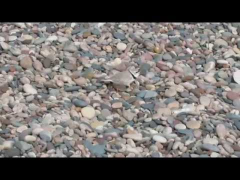 Piping Plover (Whitefish Point)