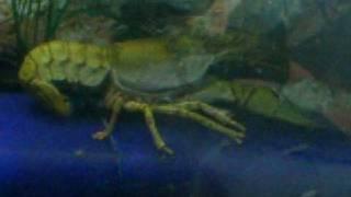 Turtles vs jumbo crawfish part 2