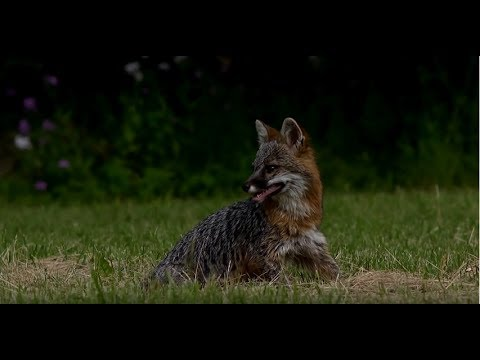 A Rabid Fox in her last hour