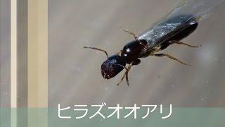 無翅亜綱 - Apterygota - Japane...