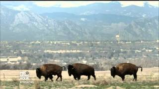 Honoring the bison as America's national mammal