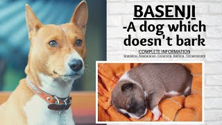 Basenji–Barkless dog breed, Temperament, Bathing, Grooming and shedding | #basenji