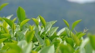 как выбрать чай. Критерии качества китайских чаев. www.realchinatea.ru