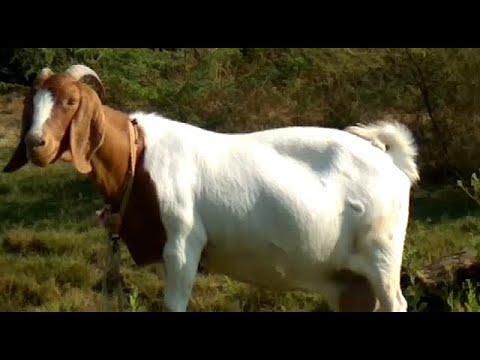 Training At Nimbkar Pure Boer Goat Farm  Explained By Malhari Sir Hindi