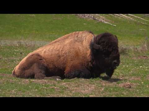 Bison 1st Day @ Yellowstone National Park with TravelArt, May 2018