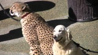 Cheetah and Dog Show - San Diego Zoo