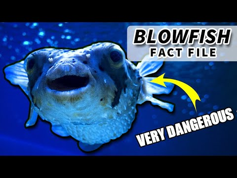 Pufferfish Facts: A Fish With A Poisonous Liver | Animal Fact Files