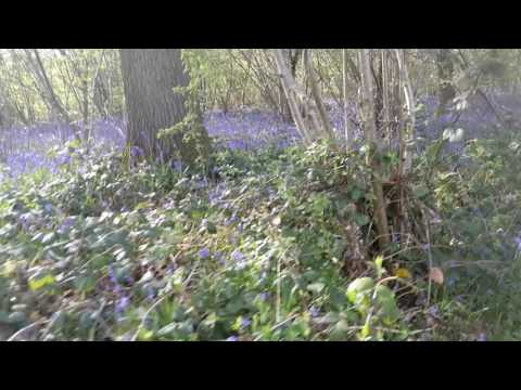 Bluebells in our Herefordshire wood