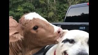 Immense Love Between Dog And Cow thumbnail
