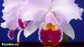 La Flor Nacional de Colombia - Cattleya Trianae