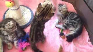 Шотландские котята питомника ROYAL CHARM! http://krasotka8484.wix.com/royal-charm