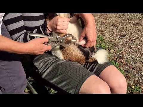 Wethering buck using burdizzo (castrating)