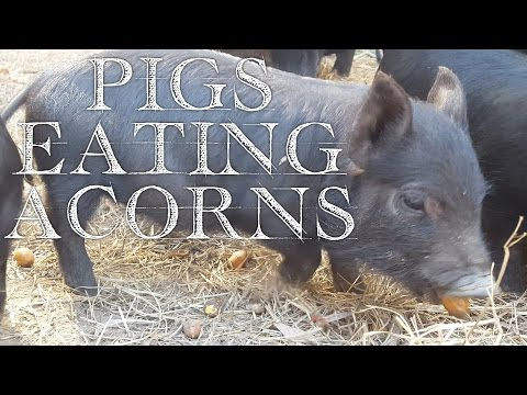 Stretching Livestock Feed: Pigs Eating Acorns