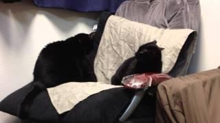 うちで飼っている黒猫すず(姉)とぶー(多分妹)のマッサージイスをめ...