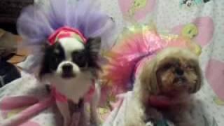 Chihuahuas (peanut & Apple) Yorkshire Terrier (nate) Shitzu (chubby) Playing Dress Up!