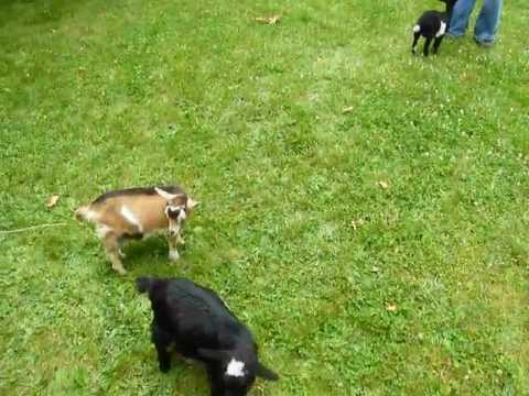 """Buttermilk """"plays"""" with her """"friends"""""""