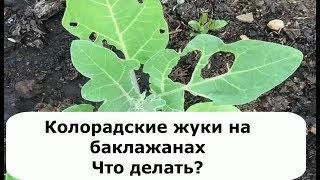 307. Колорадские жуки на баклажанах. Что делать?