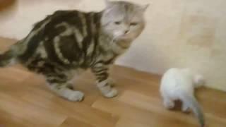 Стерлитамак шотландские вислоухие котята