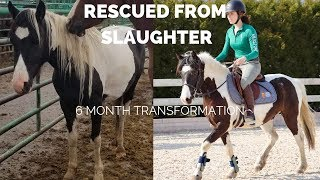 Slaughter Rescue Pony's 6 Month Transformation| From Afraid & Aggressive to Show Pony