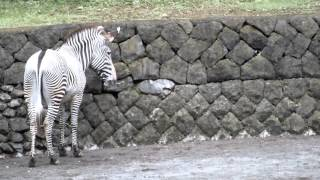 Grevy's zebra mother and child (4 months old).グレビーシマウマ母子...