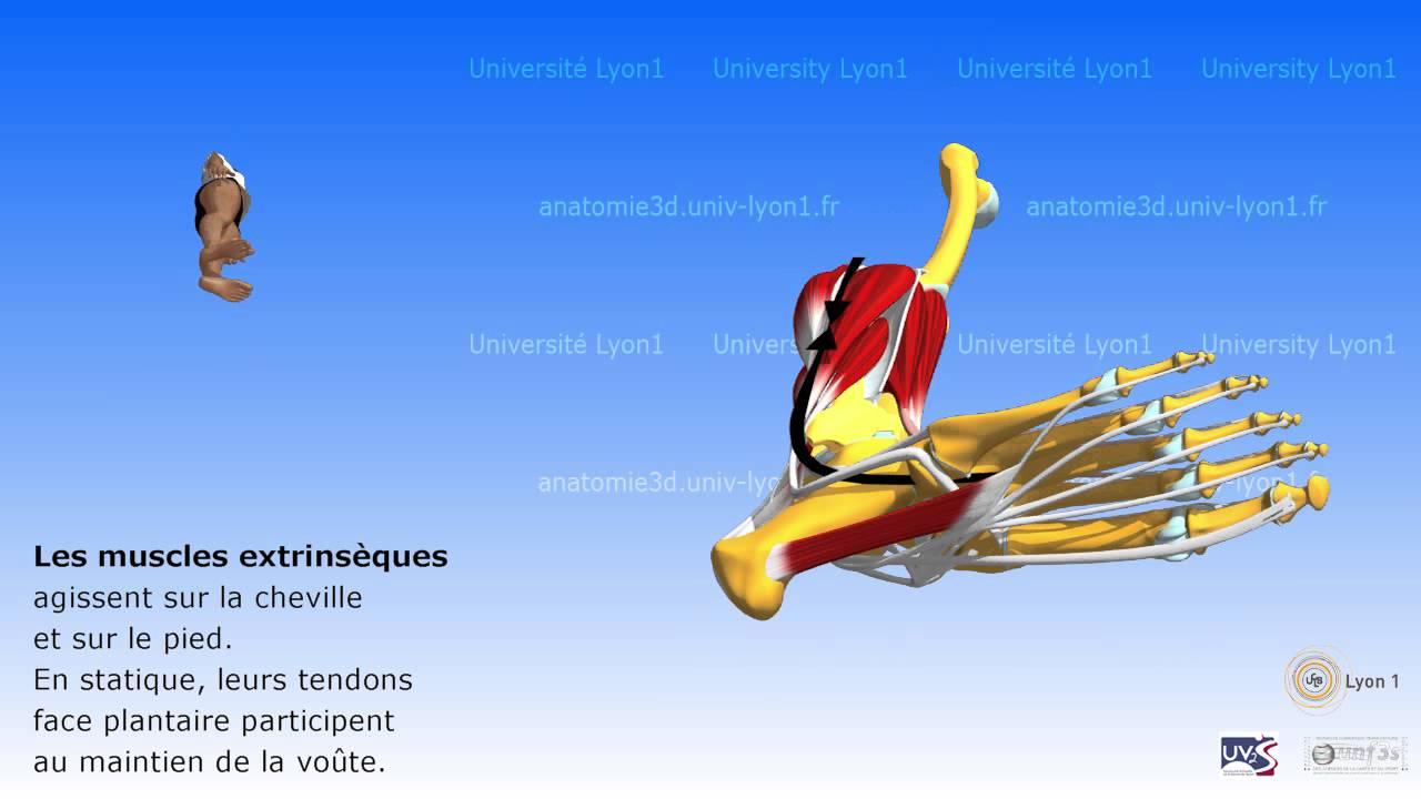 Anatomie Du Pied 3D le pied. fonctions musculaires - youtube